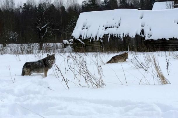 Кировчанка убила лопатой волка, зашедшего во двор дома ее матери