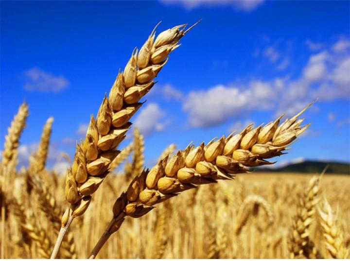 Нижегородская область в 2016г намерена собрать 1,2 млн тонн зерна
