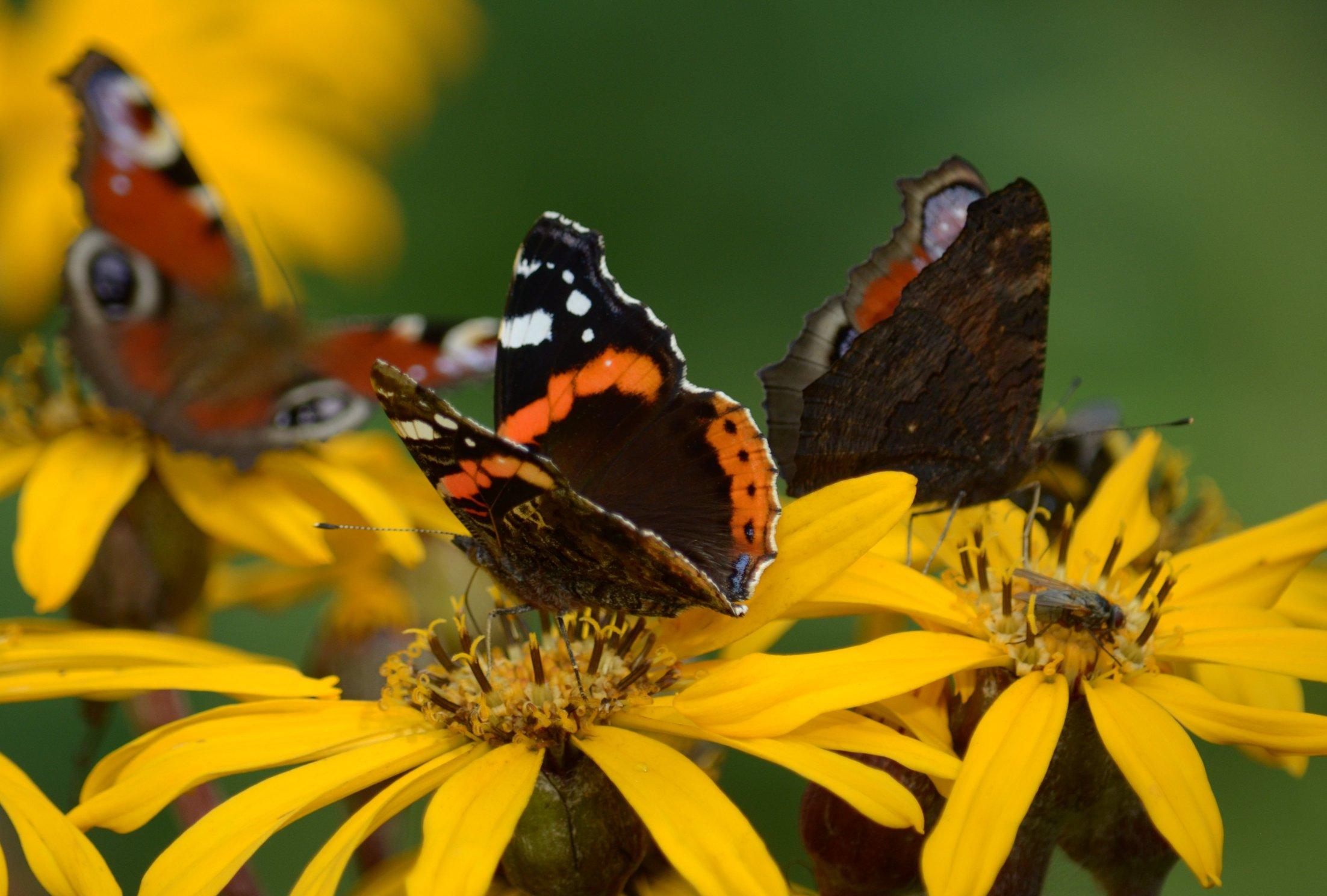 Нашествие бабочек-адмиралов отмечено в ряде регионов Поволжья