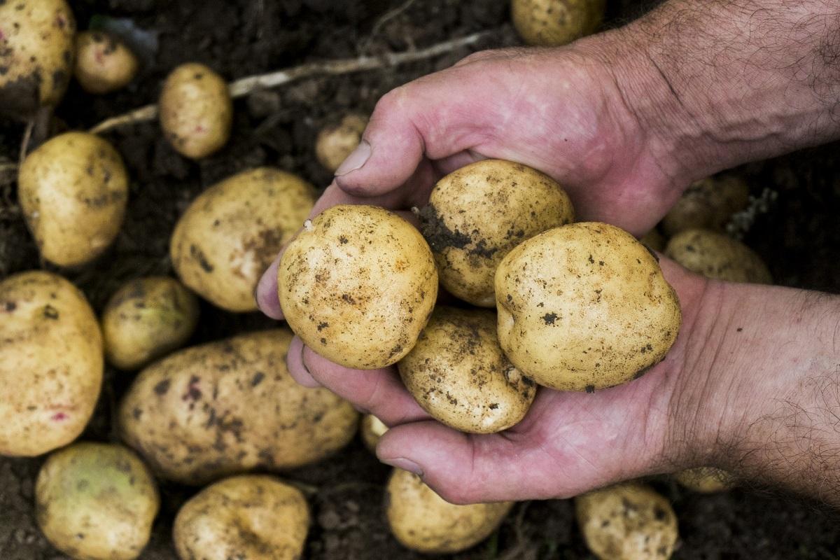 Новый высокоурожайный сорт картофеля выведен в Самарской области